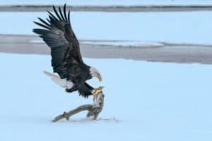 Weisskopfseeadler am Lachsfluss Alaska Chilkat River Haines weltgrösste Adleransammlung im November und Dezember Nordamerika