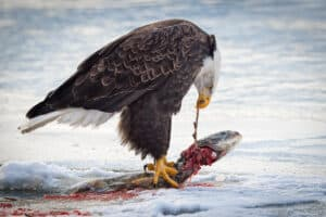Bald Eagle Feeding on Salmon at the Chilcat River
