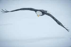 Bald Eagle Chilkot Valley Alaska Bird in Flight approching