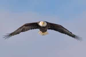 Flying Eagle largest Gathering of bald eagles in the world photography tours